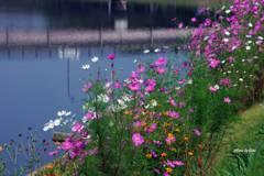 川辺の秋桜2