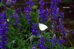 ラベンダーと紋白蝶