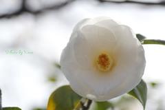 椿ホワイト