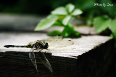 一休みの蜻蛉