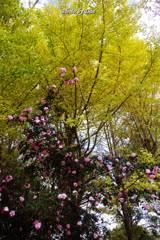 山茶花と銀杏