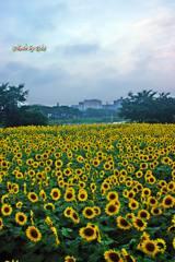 朝の向日葵畑