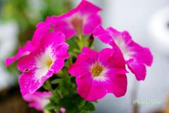 ペチュニア咲きました