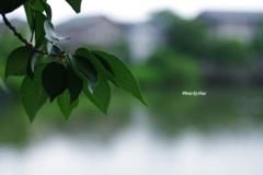 雨降り前の桜葉