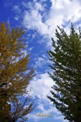 銀杏と銀杏の間の空