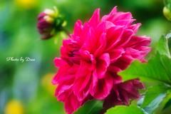 夏に咲く紅