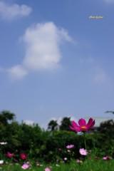 秋桜と空と雲