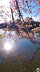 朝日と桜と池