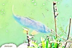 鯉を水彩鉛筆画像処理で
