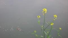 水辺の菜の花
