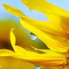 ヒマワリの花びらと朝露と