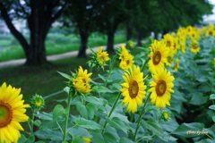向日葵と並木道