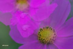 秋桜の涙2