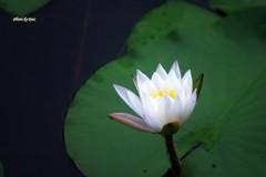 咲かけの水蓮
