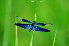 蝶蜻蛉 Ⅱ