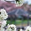 桜越しの東屋