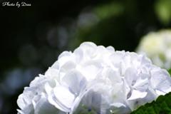 紫陽花ホワイト2