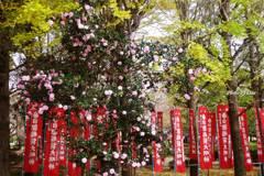 春日部稲荷と山茶花と銀杏
