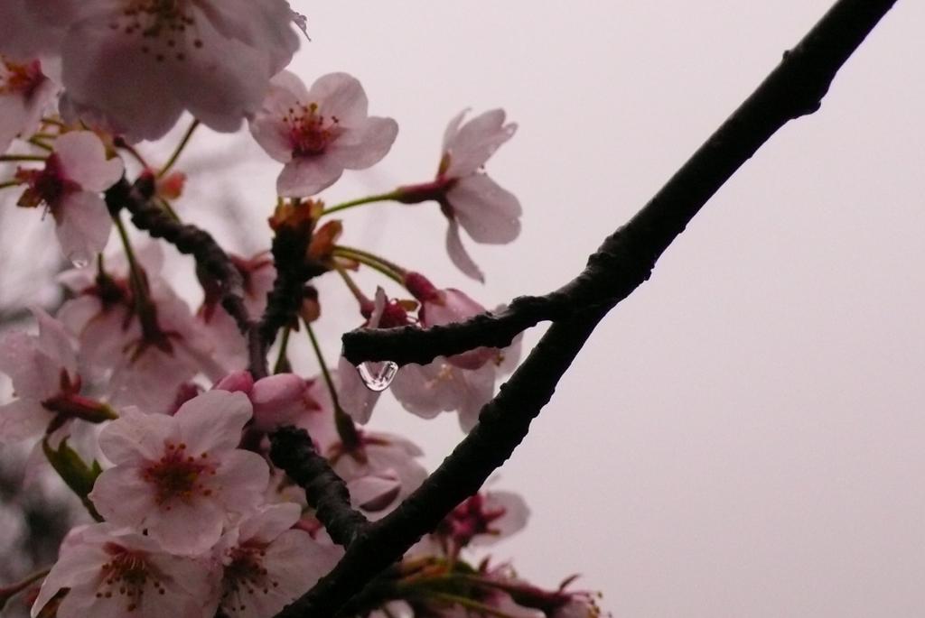 桜と雨だれ