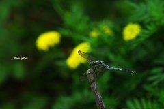 夏の花とシオカラトンボ(その1)