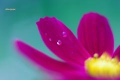 秋桜の涙5