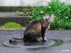 マンホールの上に猫