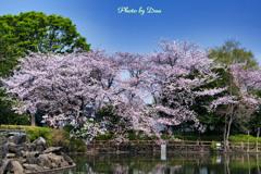 池の畔を彩る桜