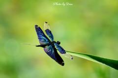 蝶蜻蛉 Ⅰ