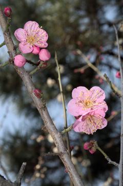 梅は咲いたか②