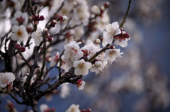 梅は咲いたか①