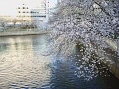 何度目の桜か