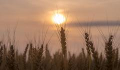 夕暮れ麦畑