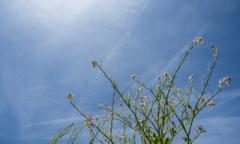 花は咲き実をつける(ハマダイコン)