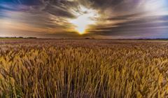 夕暮れ麦畑 2