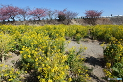 IMG_3828-1 河津桜と菜の花