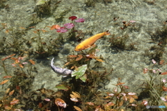 IMG_6115-1 モネの池