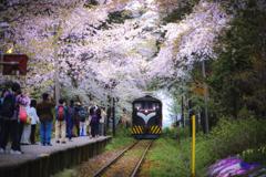 桜とストーブ列車