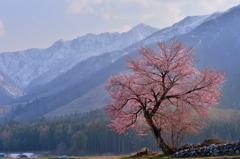 白馬の一本桜