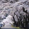 桜トンネルで散歩