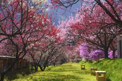 花桃の小道