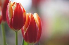 春色チューリップ