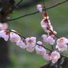大阪城公園の梅(鶯宿)