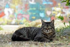 島の猫 サバトラ