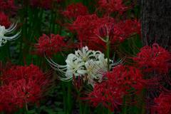 white spiderlily2