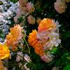 いくとぴあ食花のバラ