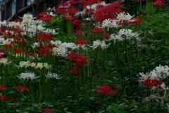 white spiderlily1