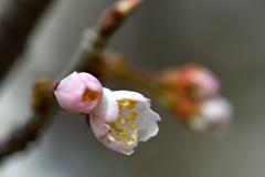 サクランボの花③