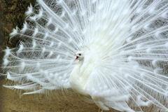 インドクジャク(白色変種)