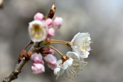 サクランボの花①