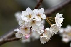 サクランボの花④
